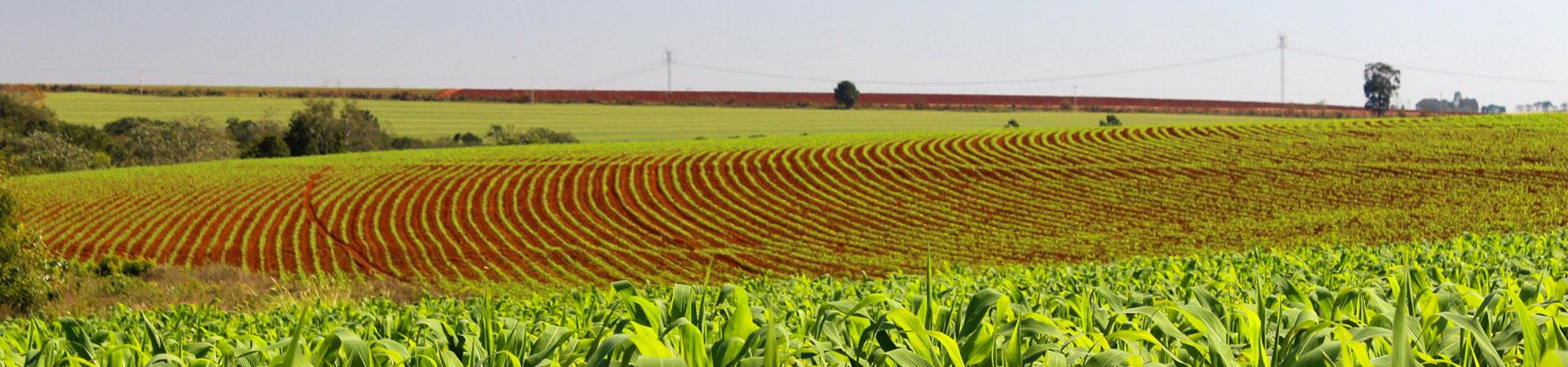 Plantação de milho da FELS